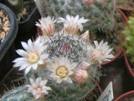 MAMMILLARIA chinocephala, RS 177, San Juan Canyon,NL