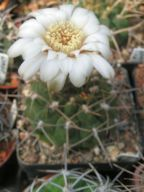 1647_Gymnocalycium intermedium p1134-07-2015_16-15(1)