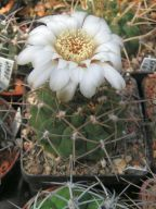 Gymnocalycium intermedium p11
