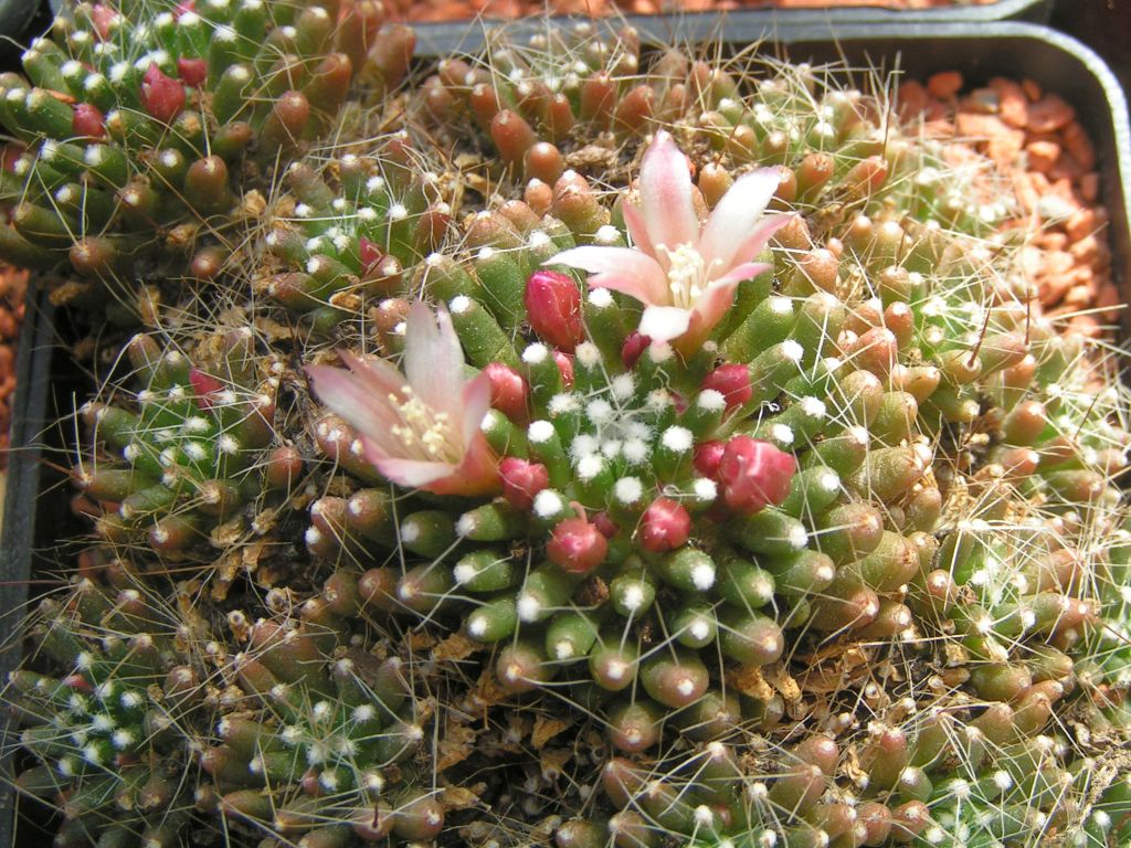 Mammillaria bocasana cv CATERPINCY