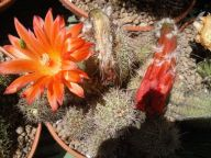 Cereus sp.
