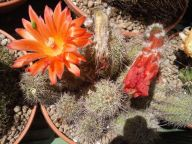 2952_Cereus sp.31-05-2014_17-41(1)