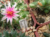 Mammillaria spec PC 6