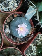 64_Lophophora williamsii4-07-2013_17-10(0)