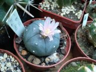 64_Lophophora williamsii4-07-2013_17-10(3)